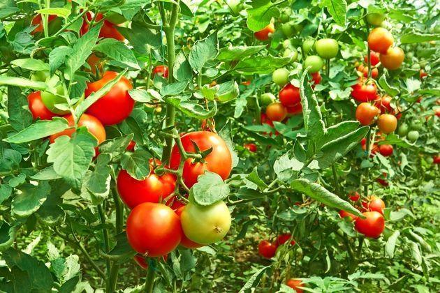 медный купорос инструкция по применению для томатов - фото 2
