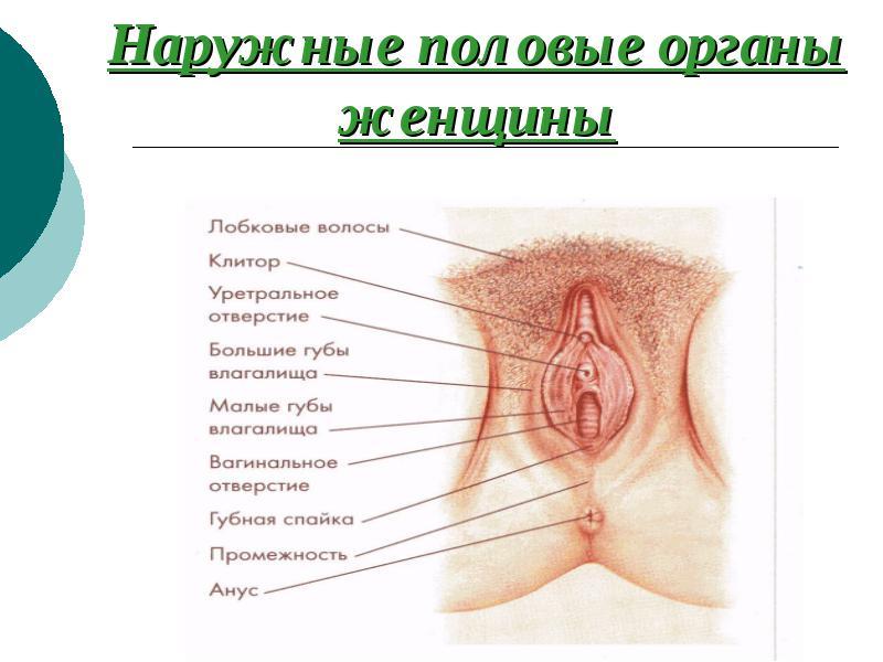 Наука женских половых органов порно