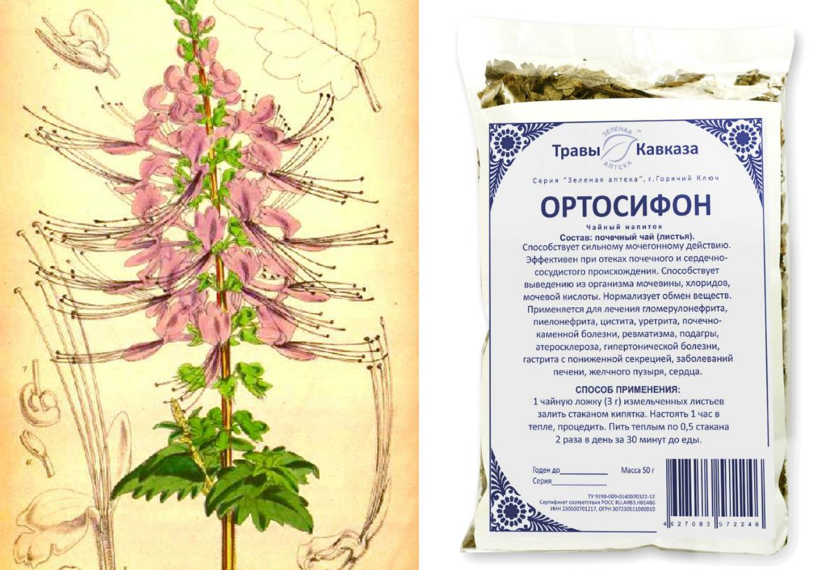 ортосифон тычиночный
