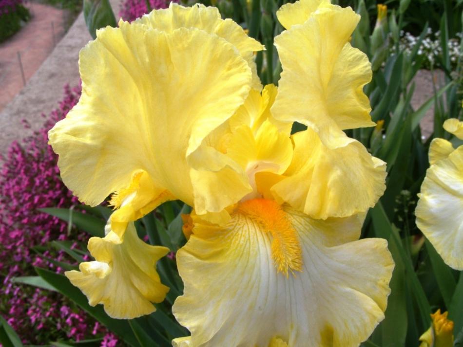 Фото желтого ириса, пример 2