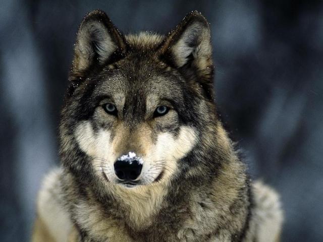 К чему снится волк женщине замужней фото