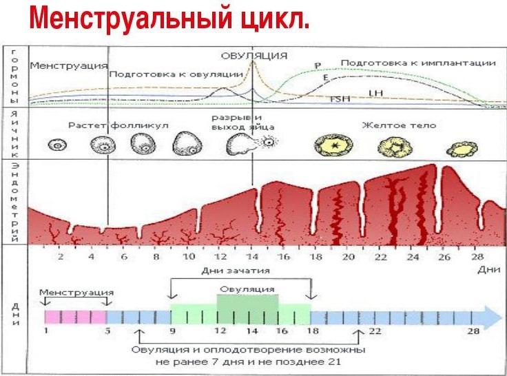 Овуляция при цикле 45 дней