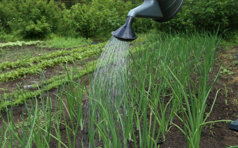 Полив зеленого лука