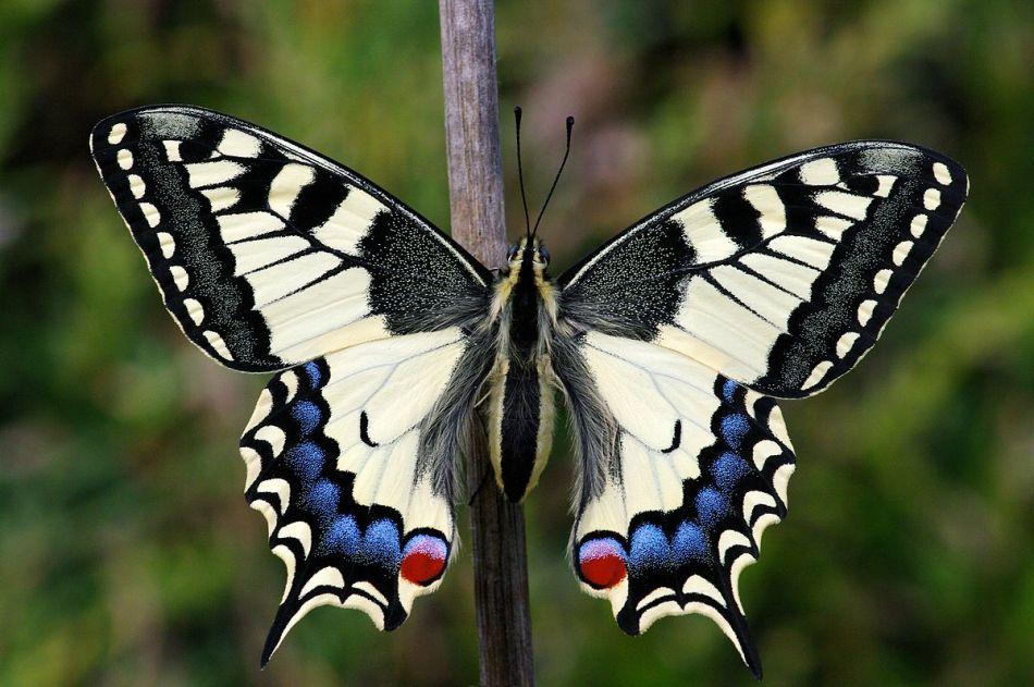 Описание бабочки махаон 90