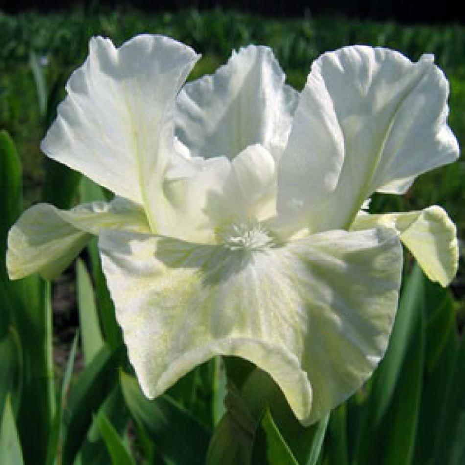 Белый ирис сорта белый лотос
