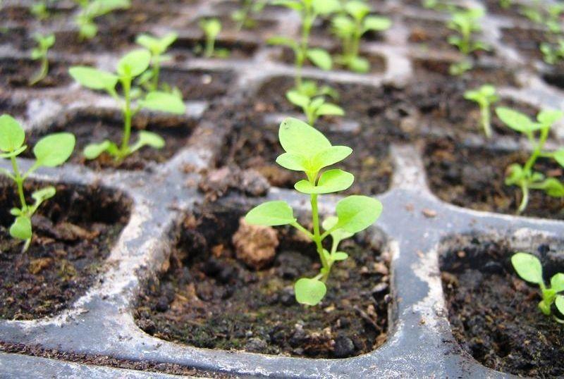 Выращивание рассады из семян 485