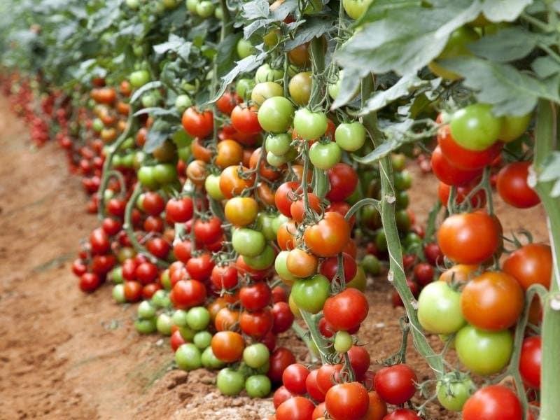 С чем не сажают помидоры 934