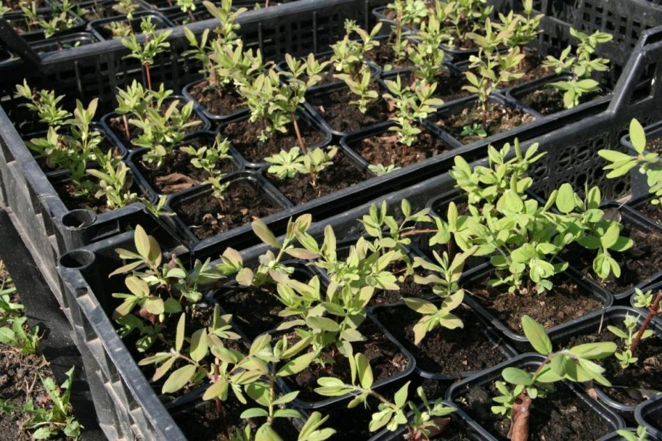 Технология выращивания жимолости съедобной 16