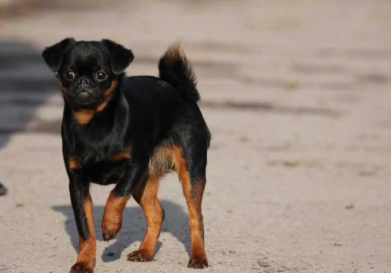 Пти-брабансон - взрослая собака