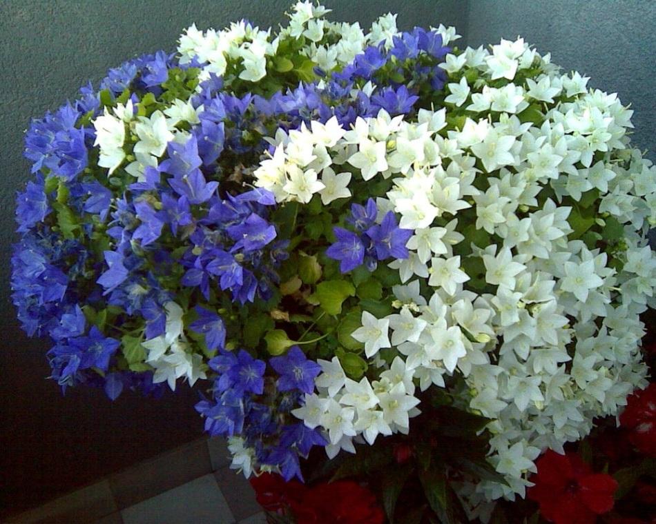 Цветок кампанула жених и невеста купить