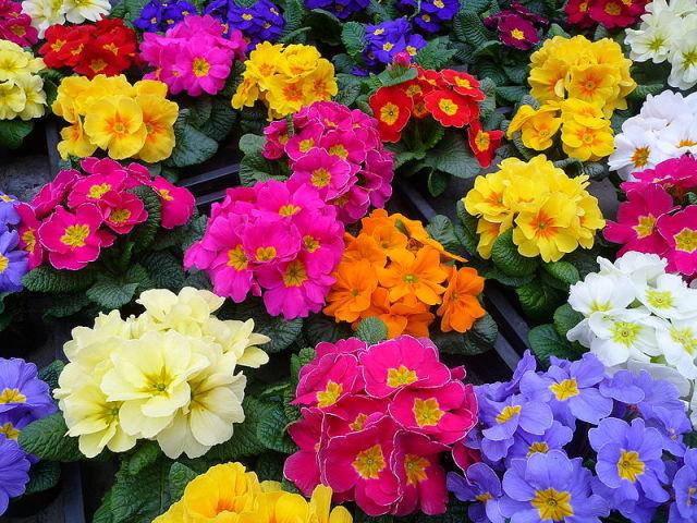 Цветок примула махровая фото