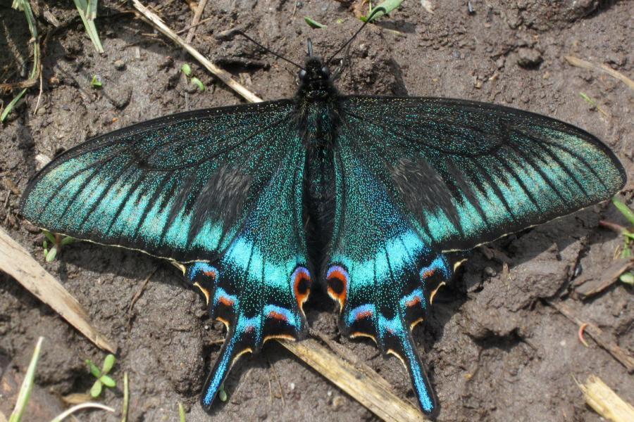 Бабочка махаон: дневная или ночная?