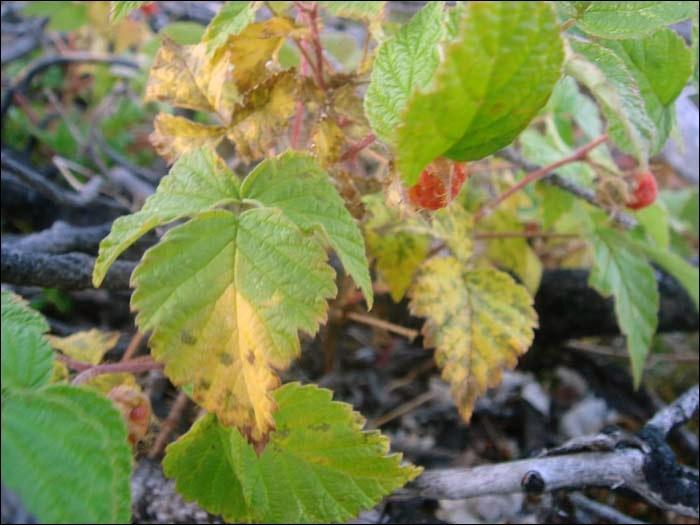 Листья малины желтеет
