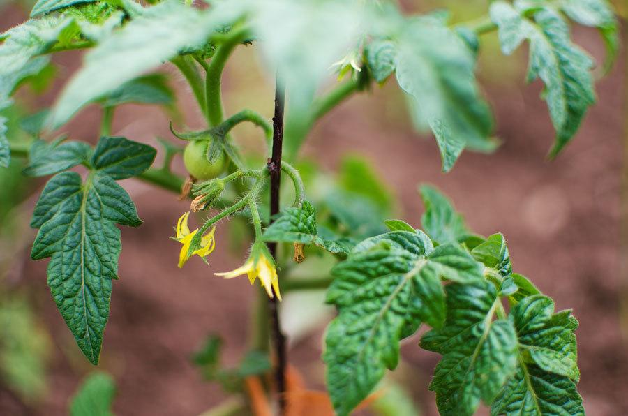 Для хорошего созревания растения необходимо вовремя подкармливать