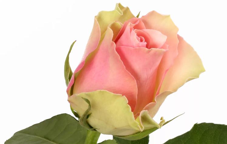 Красивая роза «ла франсе»
