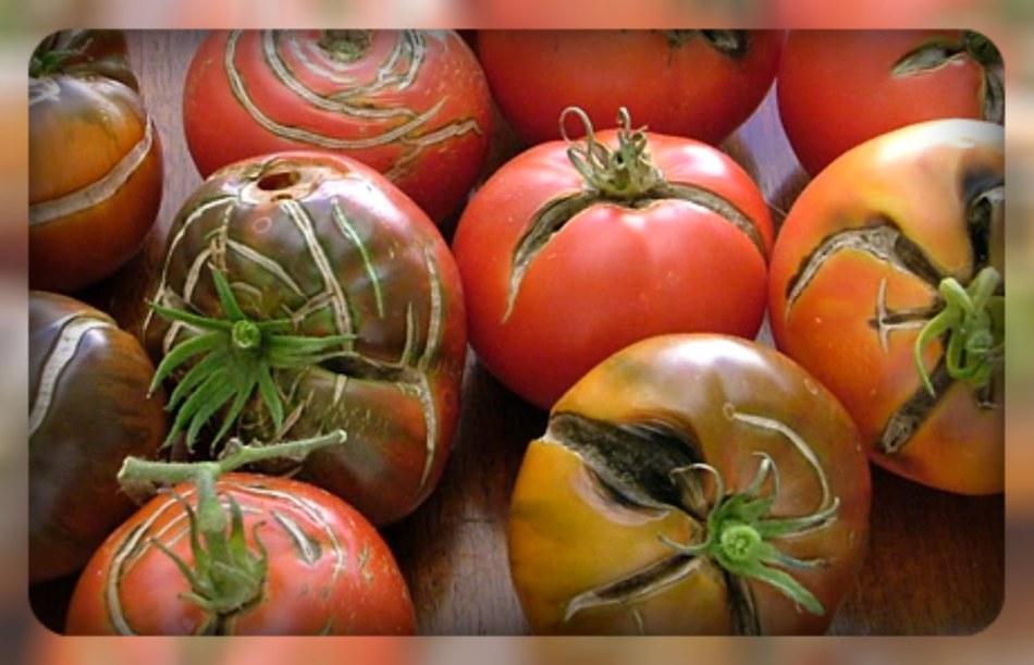 Как сделать чтобы помидоры не лопались при засолке