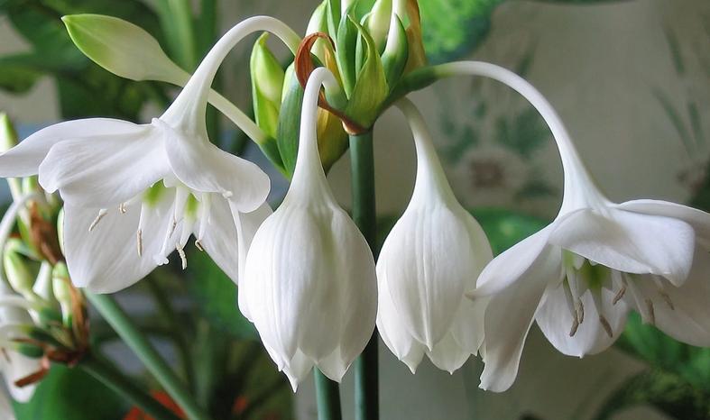 Цветение амазонской лилии эухариса
