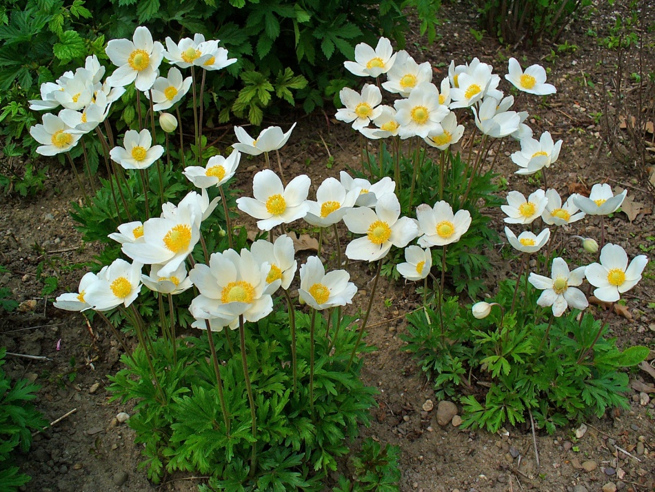 Лесной цветок анемона