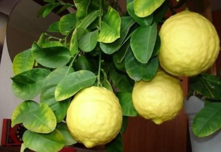 Крупный плод лимона