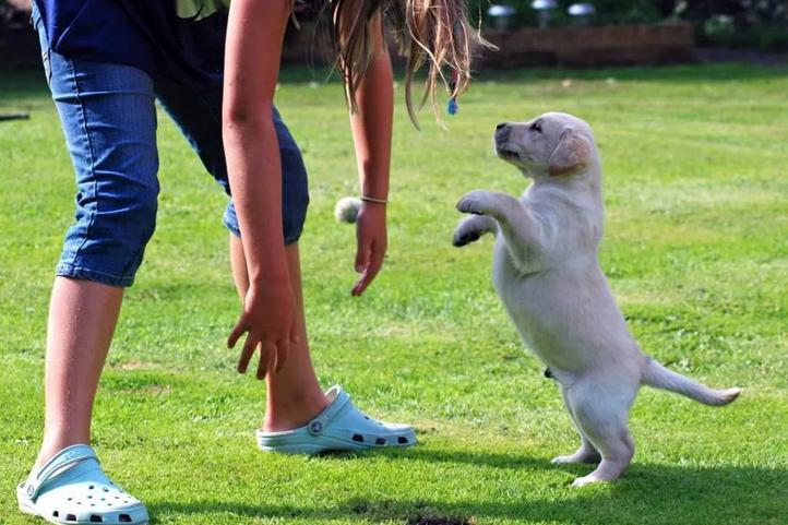 Дрессировка щенка, когда он прыгает