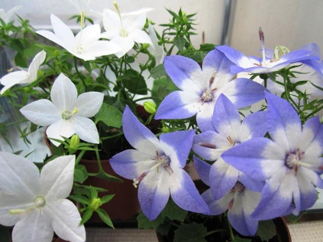 Цветок жених и невеста купить семена