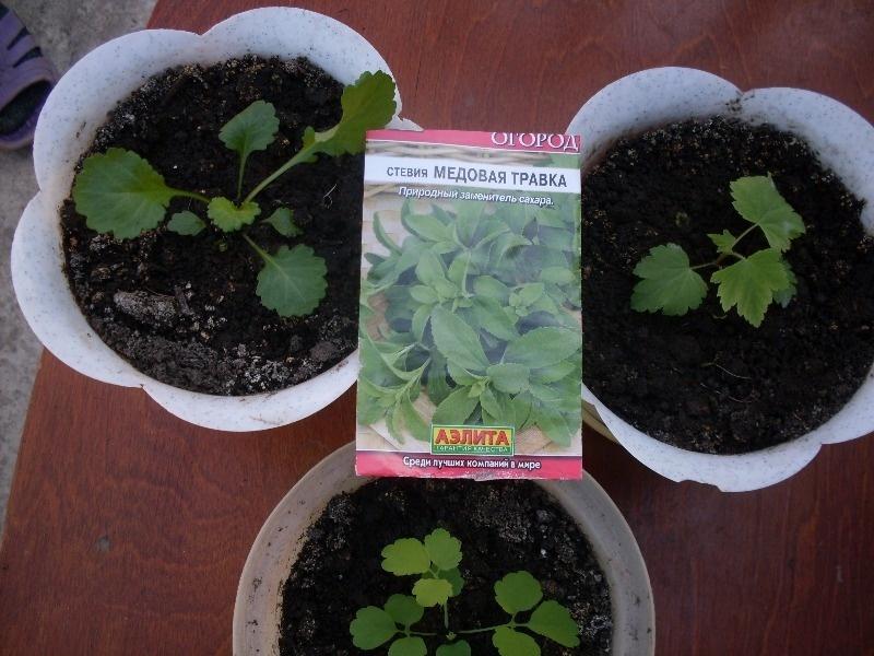Стевия услада выращивание 19