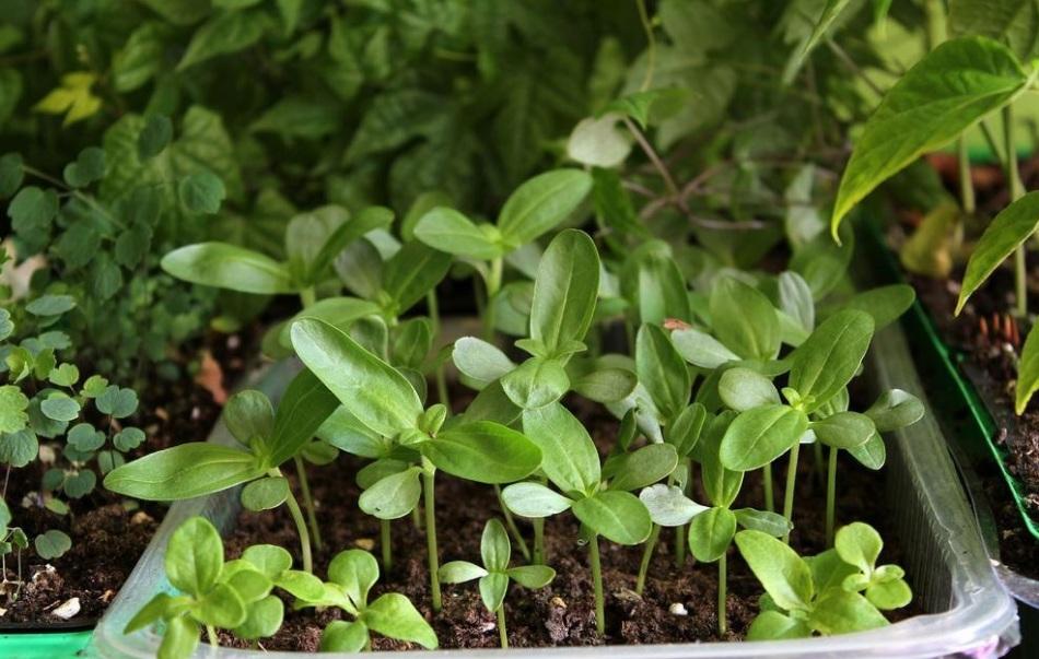 Как сажать семена на рассаду цинии 20