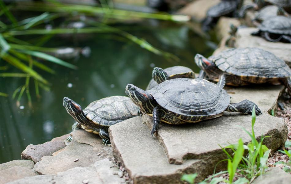 Красноухих черепах интересно содержать группками