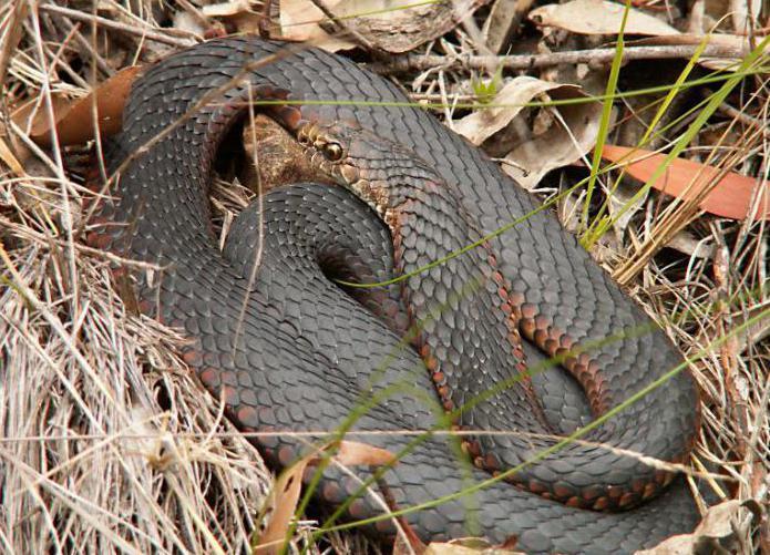 Серьезную опасность змея не несет