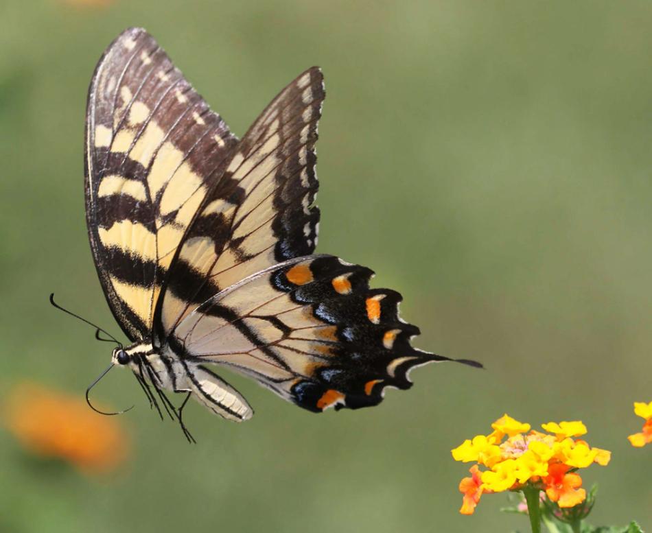 Описание бабочки махаон 91