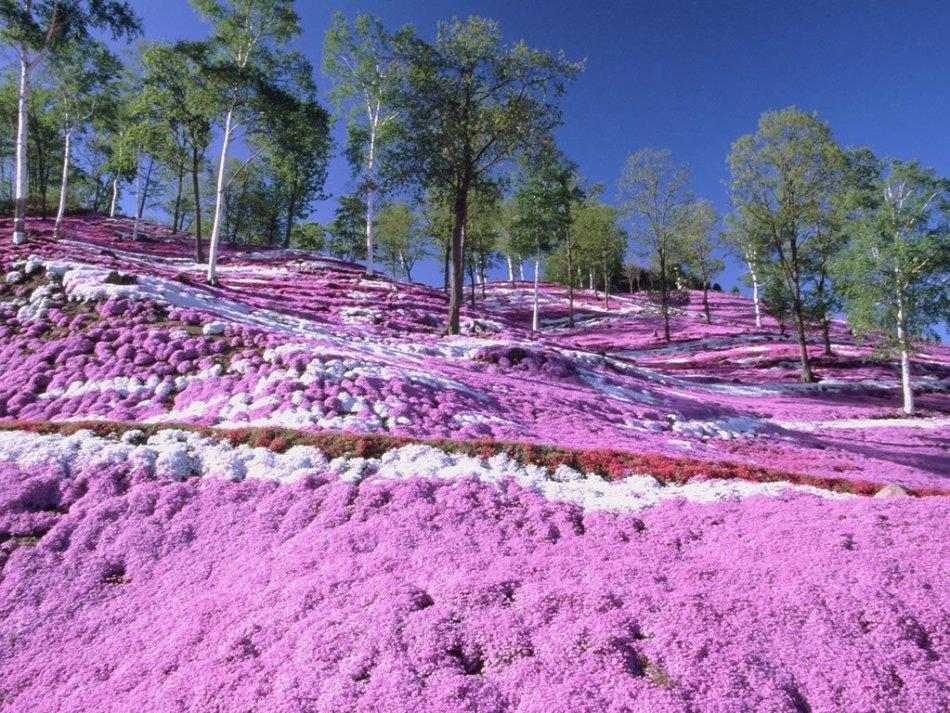 Почему не цветут флоксы многолетние?