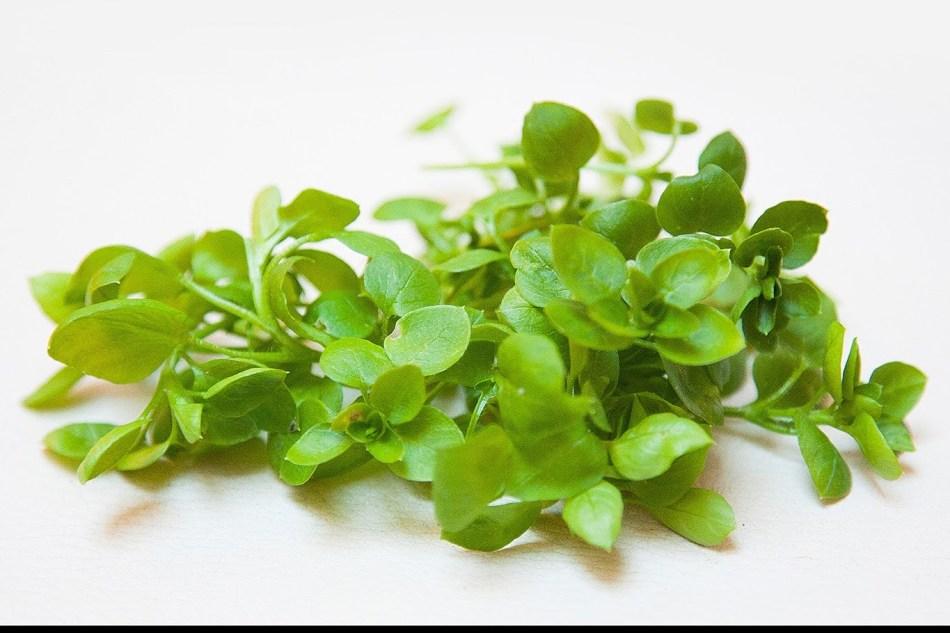 Трава мокрица - лечебное средство