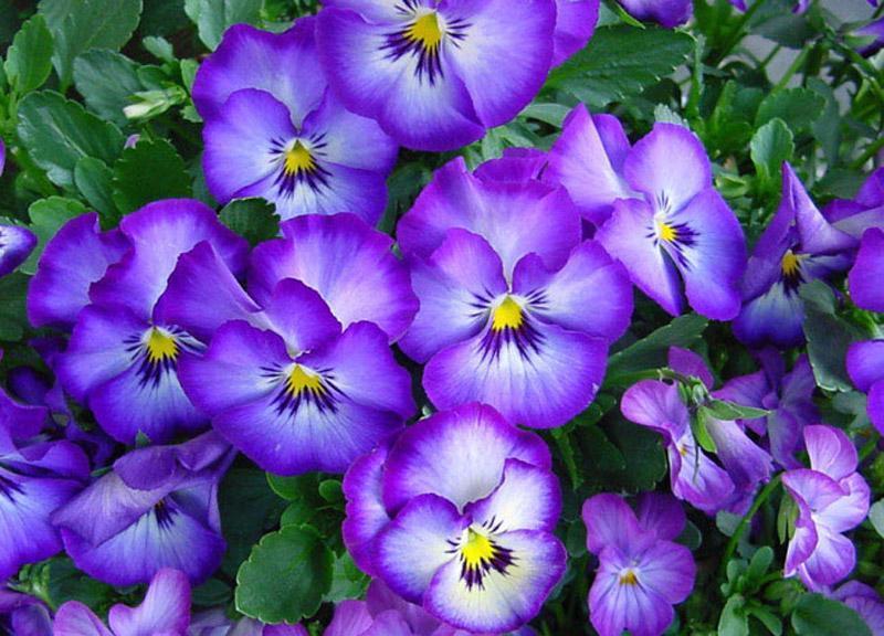 Фиалки цветов