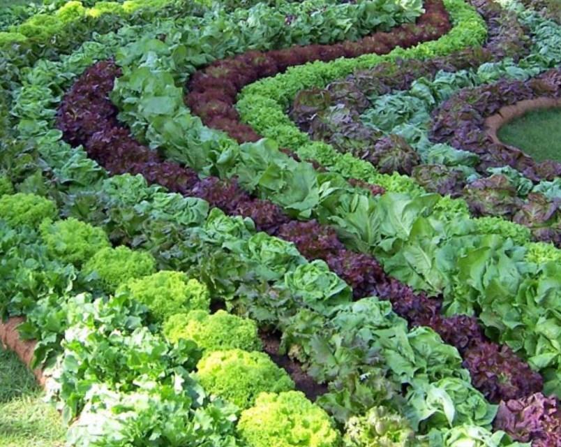 Салат: как правильно сажать семенами, выращивание и