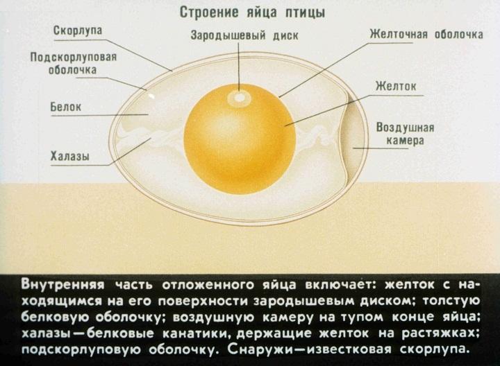 Строение яиц от цвета не меняется