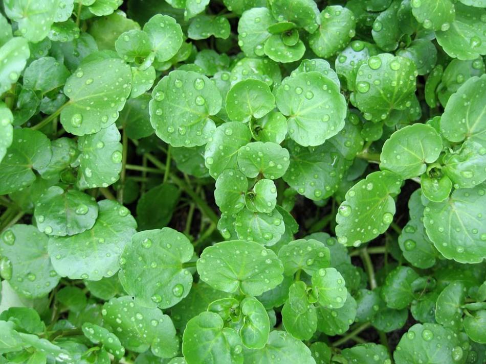 Фото травы жерухи в природе