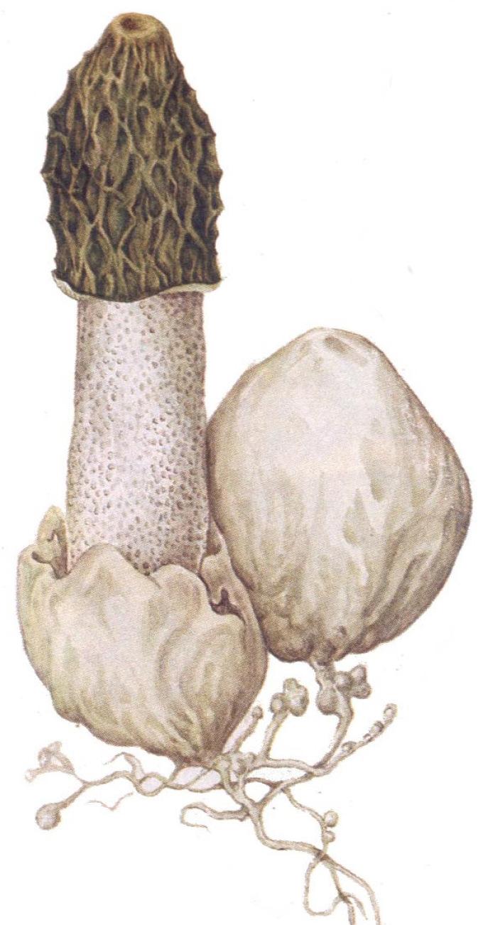 """Фазы """"жизни"""" гриба веселки."""