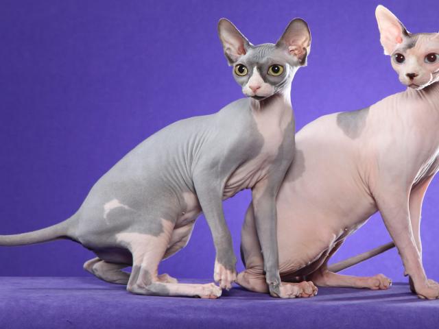 окрасы донских сфинксов с фото