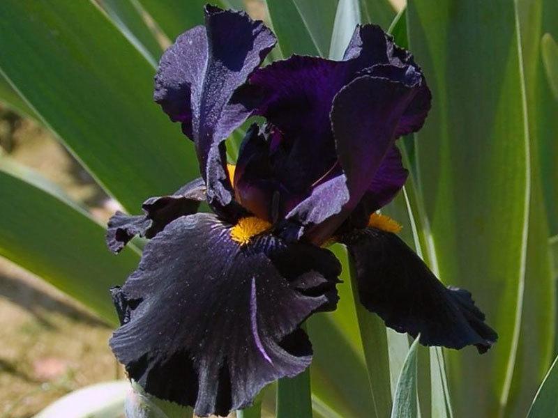Черный ирис, пример 3