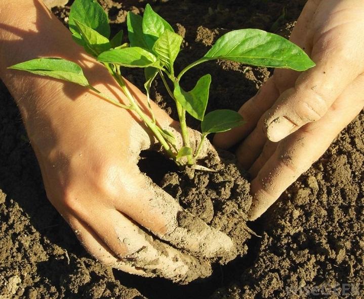 Можно ли высаживать рассаду 25