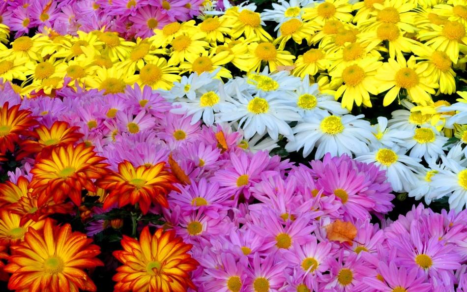 Хризантемы бывают разных цветов