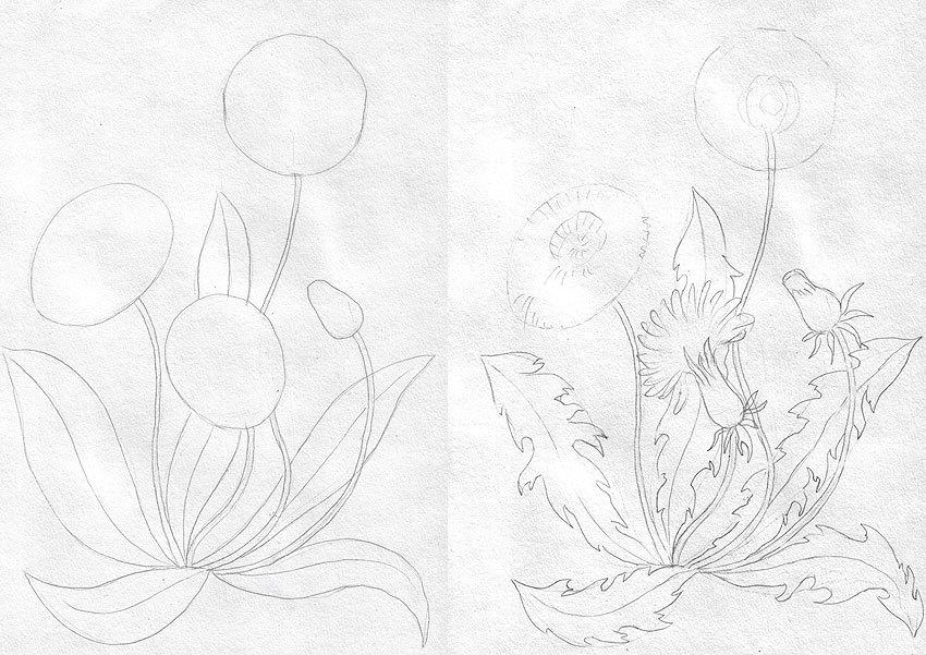 Как нарисовать одуванчик карандашом поэтапно? - Растения
