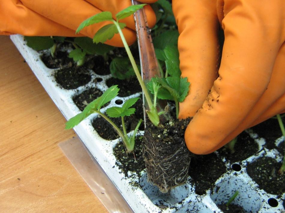 Чем поливать рассаду клубники