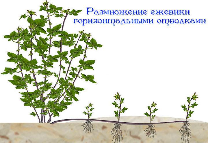Сажаем ежевику семенами 84