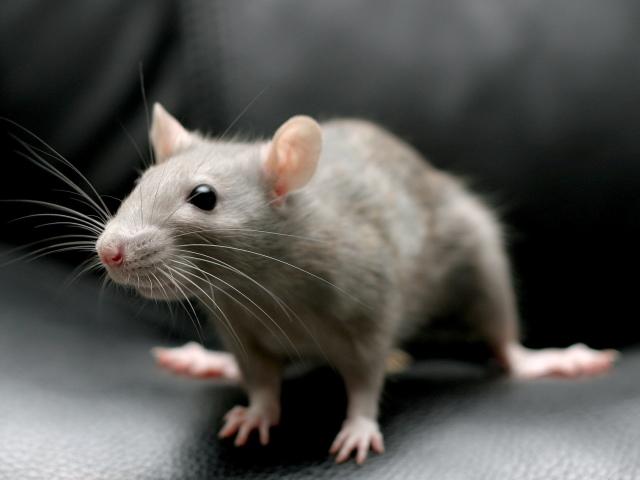 Сонник Убитая Белая Мышь