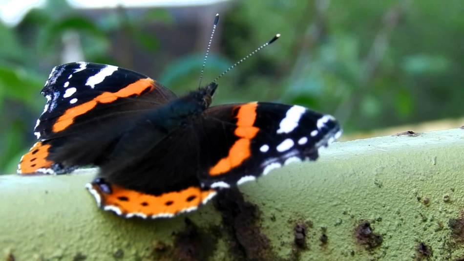 Описание бабочки махаон 79