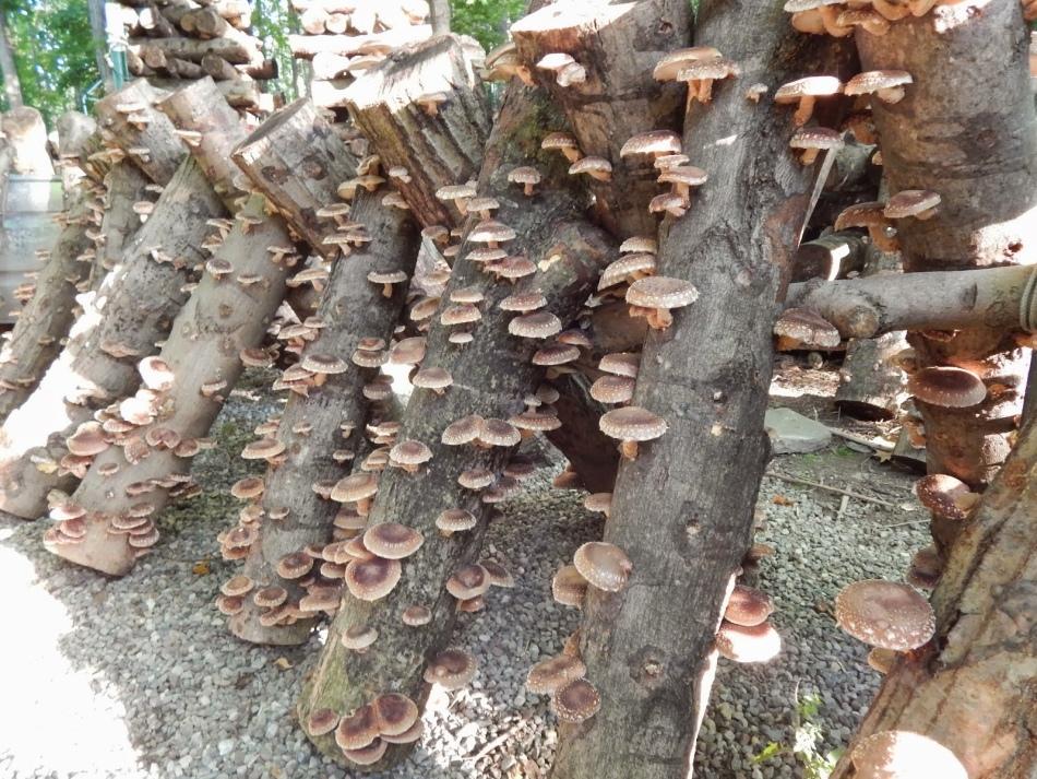 Выращивание грибов на садовом участке для новичков 65