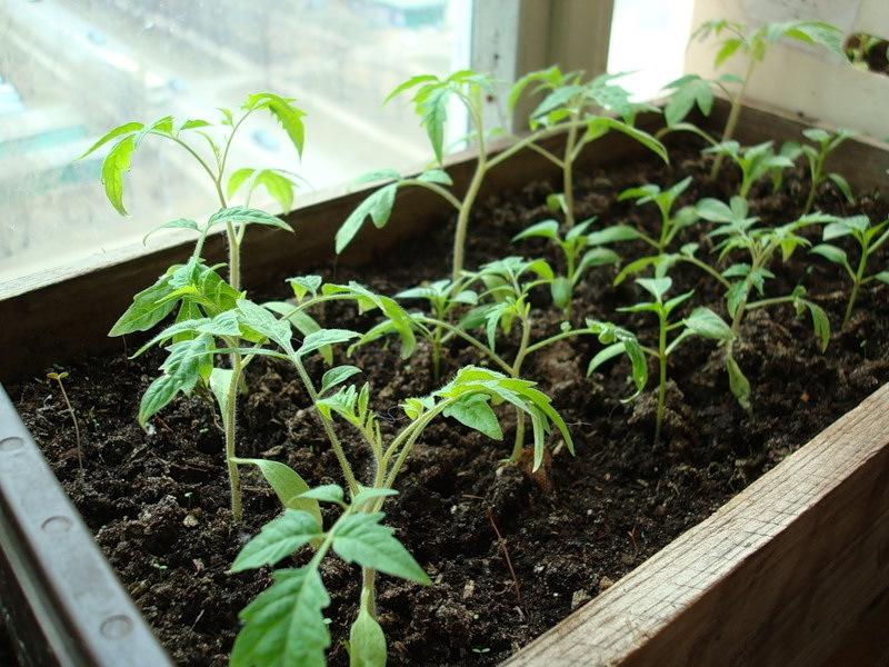 Уход за рассадой огурцов и помидор 22