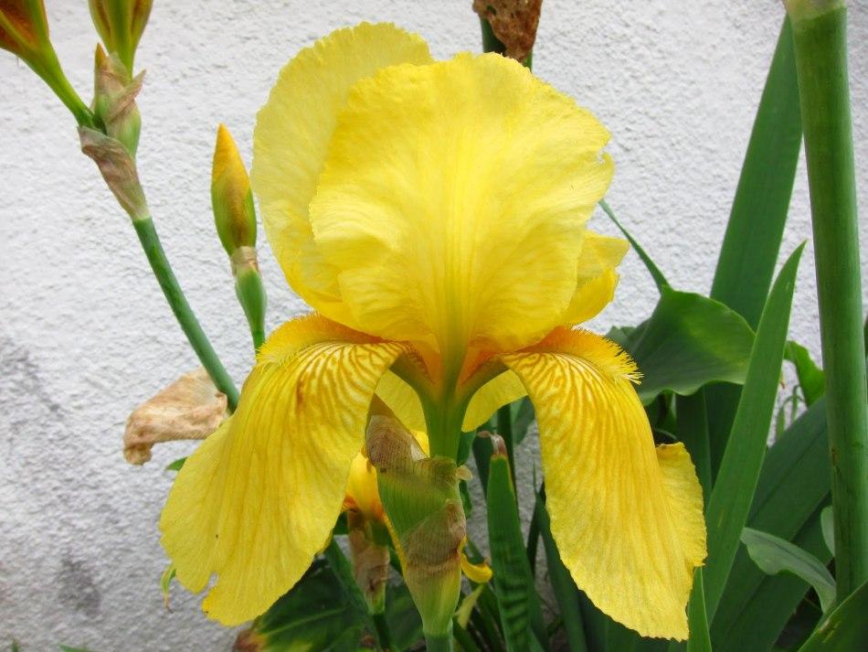 Фото желтого ириса, пример 3