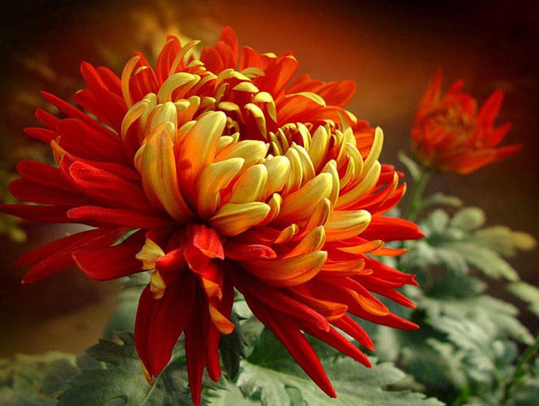 Сортов хризантем огромное количество